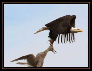 eagle-gull
