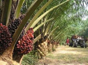 Palm Oil Plantation-745403