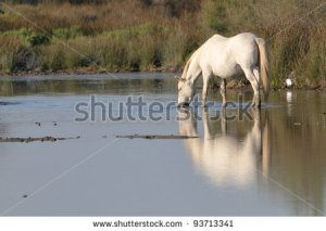 stock-photo-camargue-horse-standing-in-a-pond-and-drinking-93713341