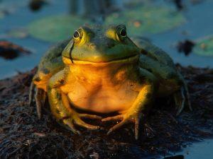 Total Contentment Bullfrog