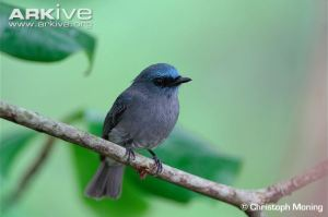Dull-blue-flycatcher-perched