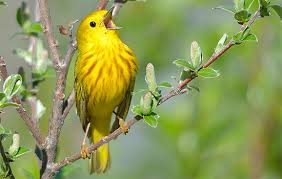early bird call