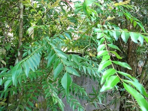 curry leaves tree