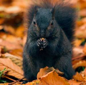 Black_Squirrel_665808c