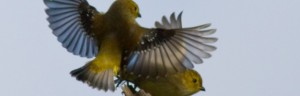 AlfredSchulte-009-high-res-Forty-spotted-Pardalote-623x200