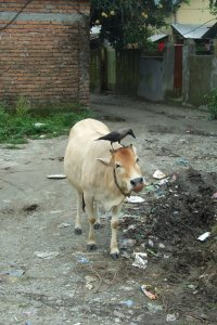 Cow_and_crow_in_Siliguri