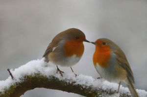 robins-kiss