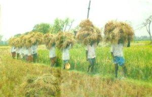 paddy-harvesting-4