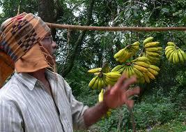 hill bananas