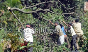 Workers clear the branches of a Sandalwood tree that axed at Lalbagh in Bangalore on Thursday. Police and horticulture Department officials visited this spot. –KPN ### Sandalwood tree axed at Lalbagh