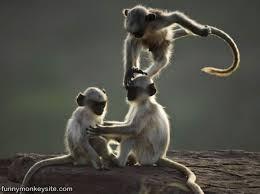 monkeys play