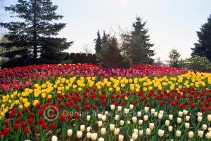 Tulips-Flower-Garden-DFL-0143