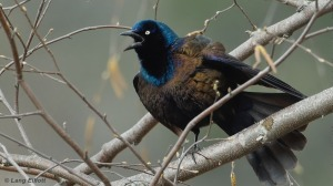 common_grackle_featured_image