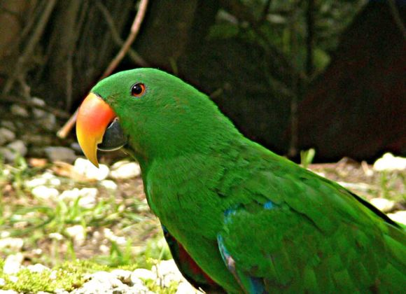desktop-hd-green-parrot-bird-images