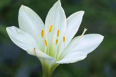 rain-lily-128108132-resized