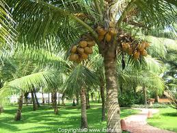 coconut trees.